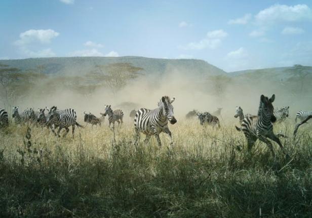 Snapshot-Serengeti-zebras