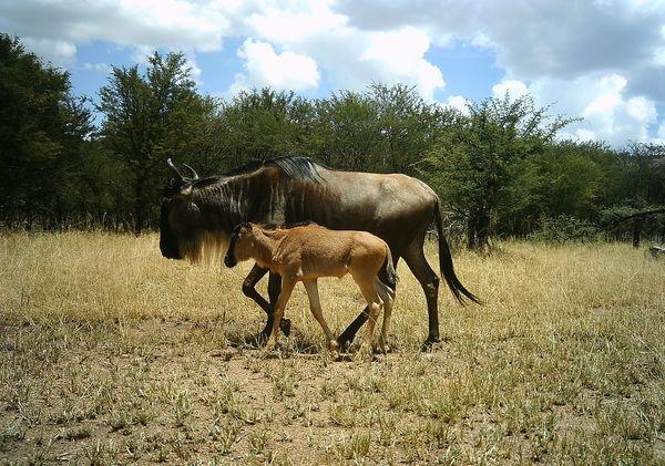 wildebeest-mother-calf