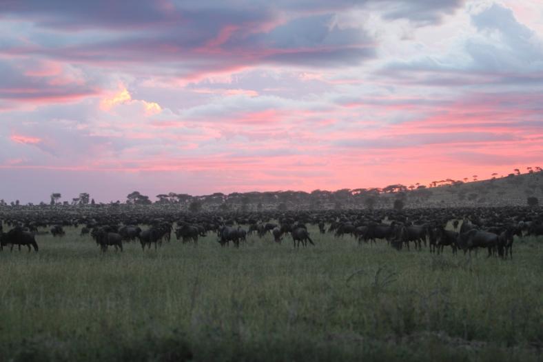 many-wildebeest
