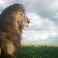 Snapshot Sunday - Proud Lion