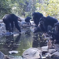 Fishing Chimps