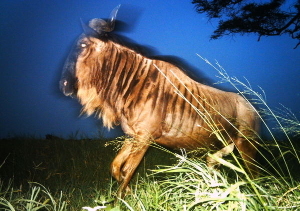 wildebeest-sunday